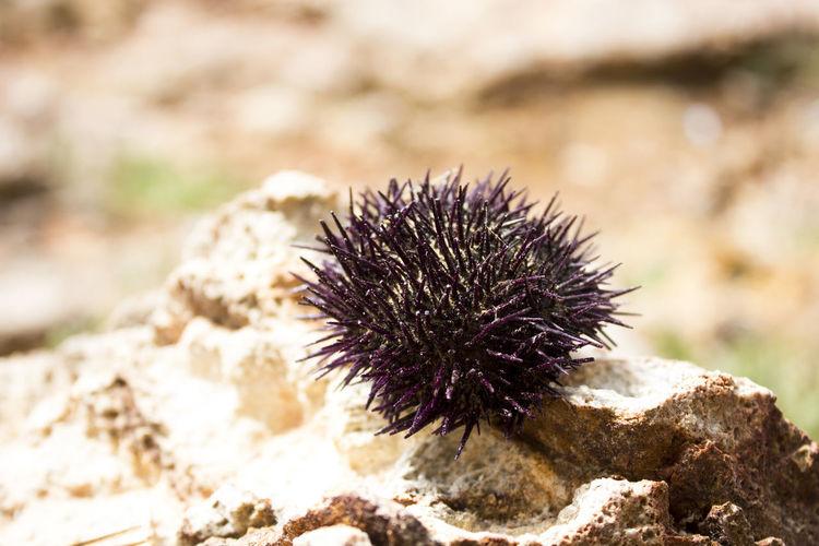 sea urchin The