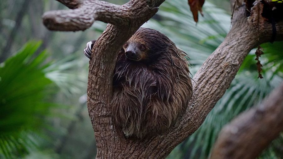 Close-up of sloth perching on tree