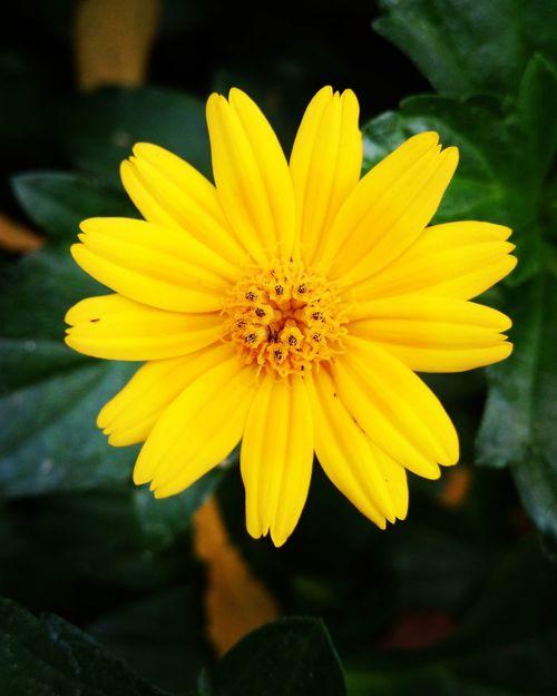 Yellow Flower Freshness First Eyeem Photo