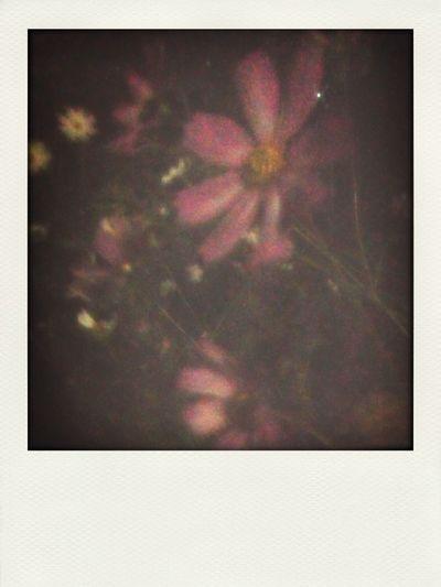 秋桜 夜明け前