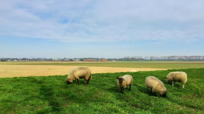Sheep Beauty In Nature Field Grass Landscape Sky Nature Grazing Animal Themes No People Tranquil Scene Green Color Beauty In Nature Growth Day Outdoors Mammal Domestic Animals Scenics Large Group Of Animals Springtime Spring