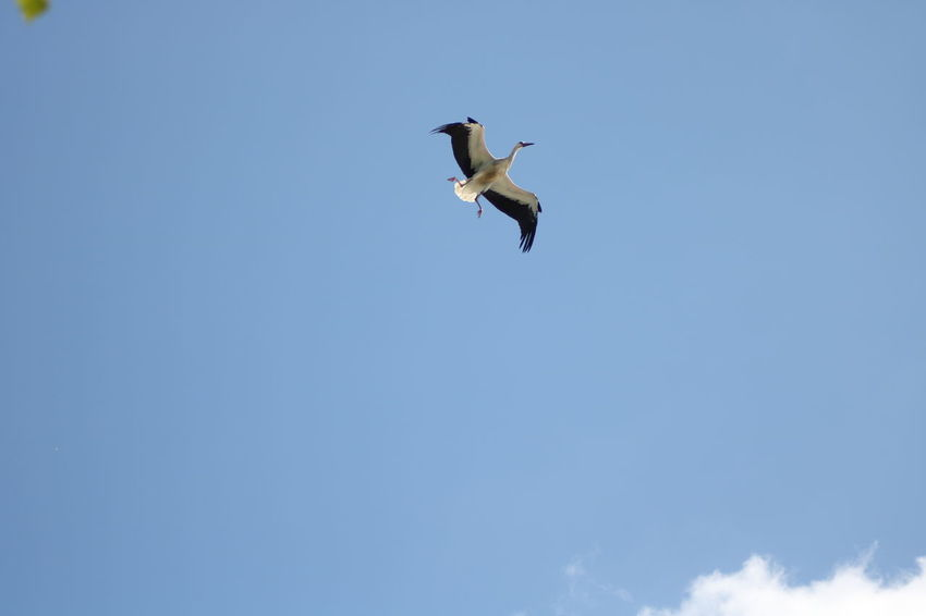 Clear Sky Animal Themes Animal Wildlife Animals In The Wild Beauty In Nature Bird Blue Day Flying Low Angle View Mid-air Nature No People One Animal Outdoors Sky Spread Wings Stork Storks Young Stork