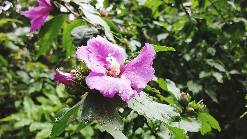 Flower after the rain Flower Pink Color Fragility Nature Day Plant No People Outdoors Close-up Focus On Foreground Leaf Freshness Beauty In Nature Flower Head Growth Courbevoie