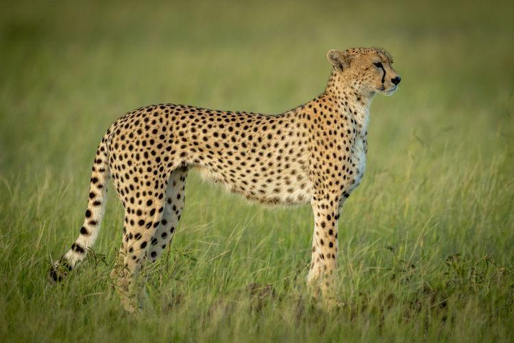 Full length of cheetah on field