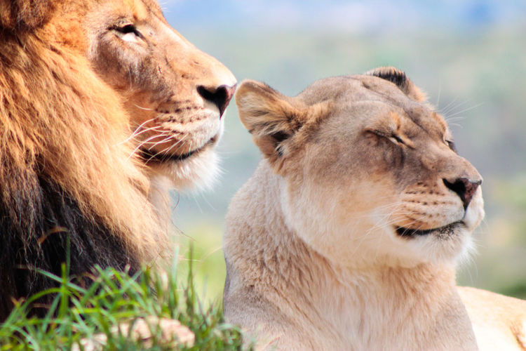 Close-up of lion and lioness