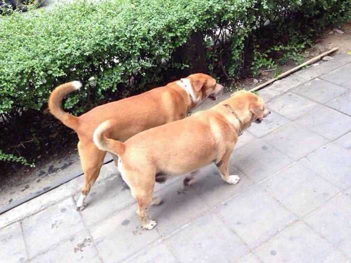 Twin dogs Walkabout Happydog Afternoonwalk Fatdog Sunnyday Bangkok Thailand Spotted In Thailand