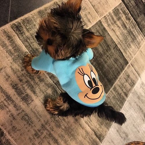 Glamour Fashion Dog Minnie Mouse Dog Love Terrier