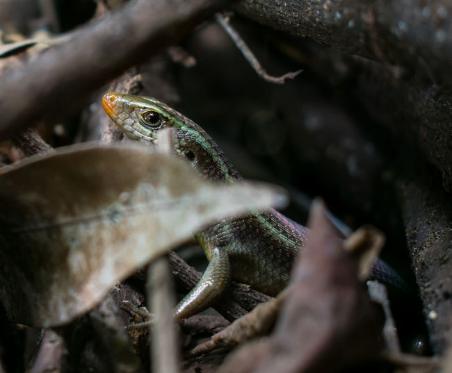 Nature Lizard Lizards Close-up Nature_collection Nature Photography One Animal Animal Themes Animals In The Wild Animal Animal Wildlife One Animal Animal Selective Focus Animals In The Wild Reptile Close-up Tree Trunk No People Day Animal Themes Outdoors Nature