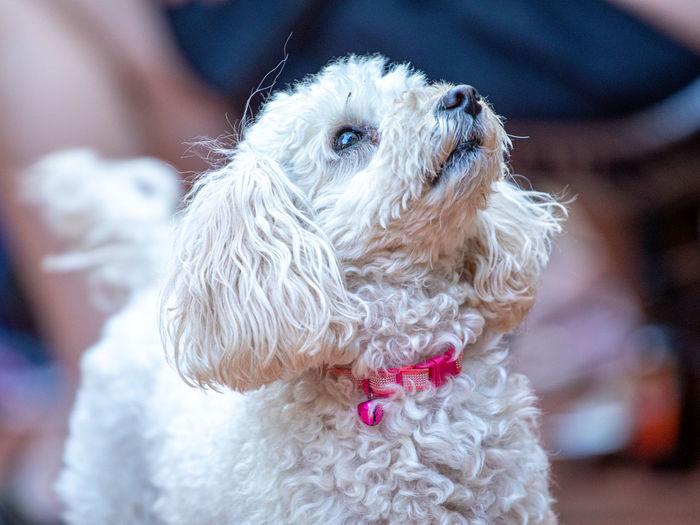 Animal Poodle