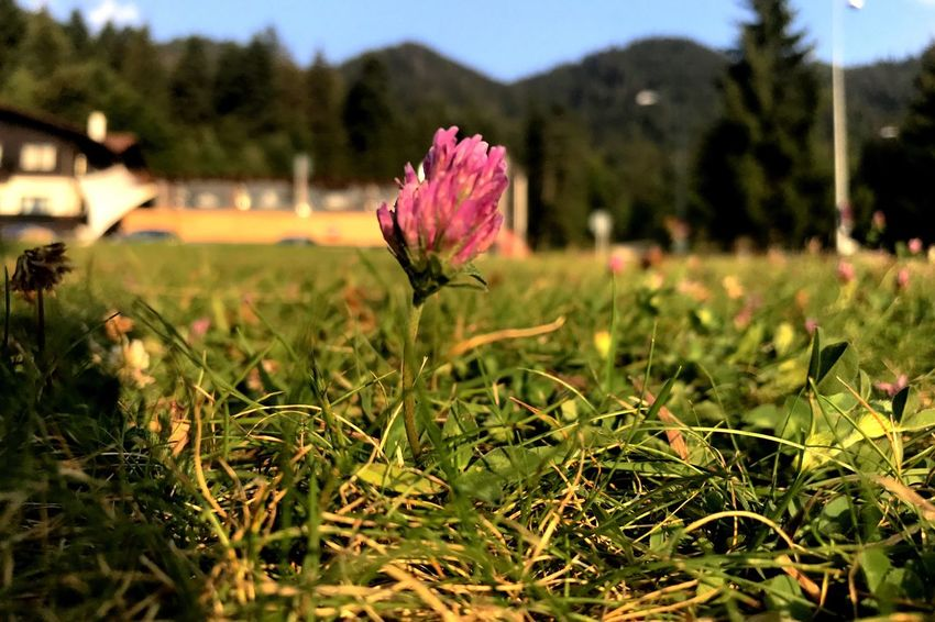 Flower Growth Nature Plant Beauty In Nature Field Outdoors No People Focus On Foreground Blooming Fragility Freshness Flower Head Grass Day Poiana Brasov Romania Your Ticket To Europe