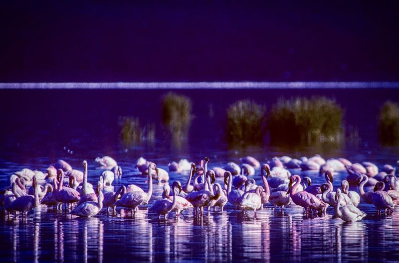 Flamingoes swimming in lake