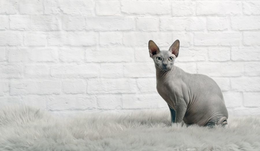 Grey sphynx cat sit on a fur blanket and look at camera. Cats Of EyeEm Copy Space EyeEmNewHere Horizontal Looking At Camera Pet Portraits Animal Themes Cat Completely Bald Domestic Animals Fur Blanket Hairless Cat Indoors  Looking At Camera Mammal No People One Animal Outdoors Pentax Pets Portrait Purebred Sphynx Sphynx Cat White Brick Wall