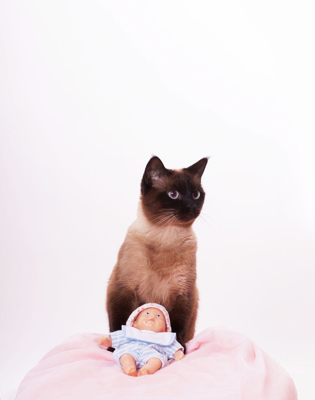 Siamese Cat With Doll On Blanket Against White Background