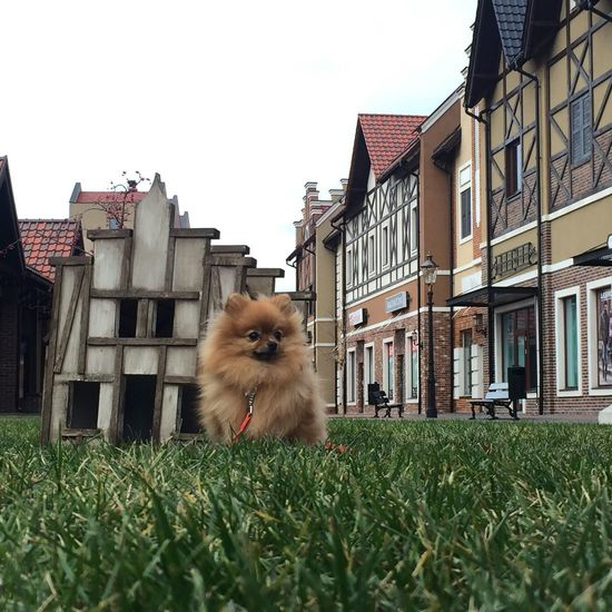 Cute Pomeranian on the grass Green Nature Architecture No People Outdoors Nature Photography Cute Pomeranian Pom On Grass Pomeranian Pomeranian Dog Cute Pets Spitz Building Exterior Architecture Built Structure Building Plant Animal Sky Animal Themes Vertebrate Mammal One Animal Nature Domestic Grass Day No People Pets Clear Sky Green Color Residential District