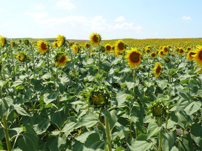 Sunflowers Sunflower Field Group Of Objects Texture In Nature Summer Nature Photography Nature's Diversities The Great Outdoors - 2016 EyeEm Awards The Essence Of Summer