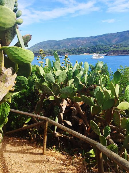 Growth Nature Plant Beauty In Nature No People Outdoors Day Tranquility Cactus Field Scenics Sky Freshness Water Prickly Pear Cactus Close-up Travel Destinations Italy Porto Azzurro Isola D'Elba  Barbarossa Kakteen