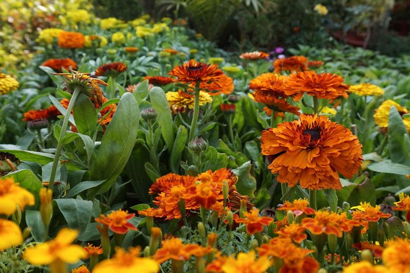 Marigold flowers blooming in garden