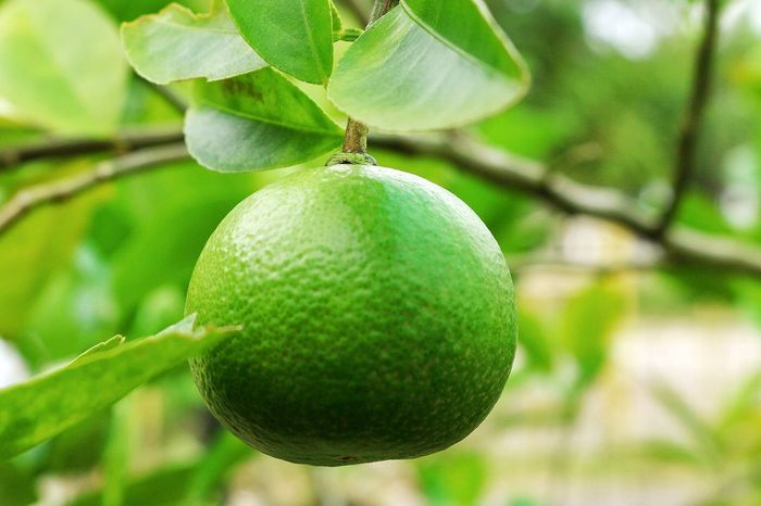 Lemon Thai Lemontree Lemon Tree Lemons Lemon Fruit Food And Drink Growth Tree Focus On Foreground Food Leaf Healthy Eating Freshness Day Green Color Unripe Outdoors Branch Nature Close-up No People Beauty In Nature