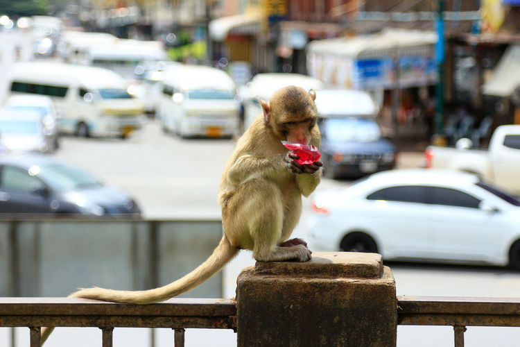 Small naughty monkey in town of Thai land Thai Drink Naughty Ape Monkey Baboon Gorilla Tropical Rainforest Infant Grooming Lap Dog Foraging Krüger National Park
