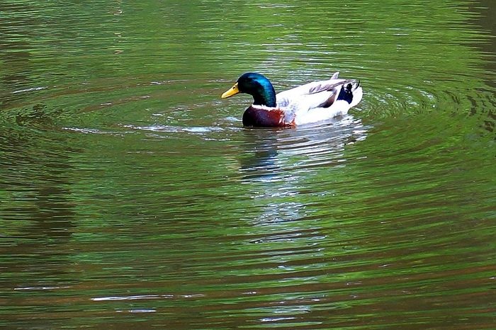SONY αNEX6 Carl Zeiss Planar T* 50mm/F1.4 ZE Tadaa Community Sonynex6 Planar CarlZeiss Duck かも 鴨 Eye Em Nature Lover