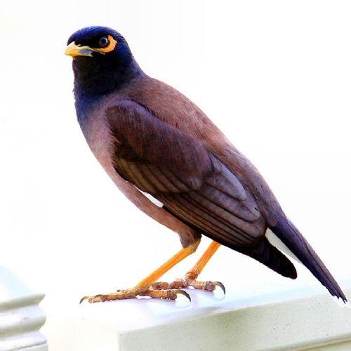 The Common Myna is considered as a pest and an invasive bird. Mydubai Dubai DubaiBirds NatGeo PhotoSociety