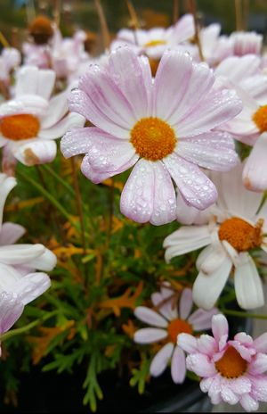 Dew Flower Nature Beauty In Nature Fragility Close-up Pink Color Norway Morning Dew Fall Autumn Beauty In Nature Nature Drops Delicate Flower Daisies Daisy