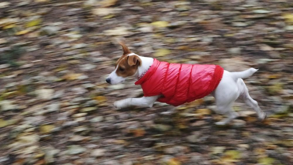One Animal Dog Pets Domestic Animals Animal Themes Red Outdoors Pet Clothing Pet Clothes Mammal Running Running Dog Autumn Background
