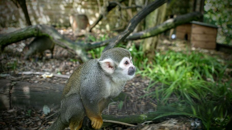 Squirrel Monkey On Field At Cotswold Wildlife Park