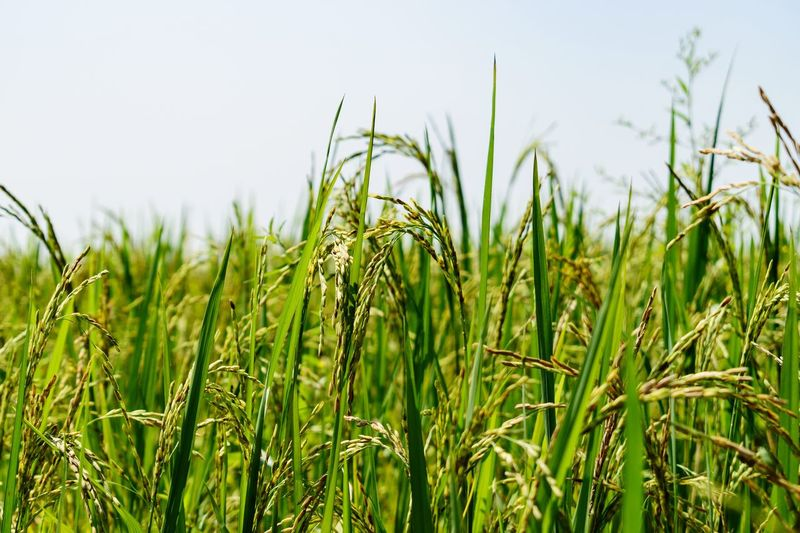 Rice Majestic Nature Nature Beautiful India Food And Drink Scenics - Nature Sunny Crop Field Cereal Plant Wheat Rural Scene Agriculture Rice Paddy Sky Close-up Grass Green Color Cultivated Land Rice - Cereal Plant Plantation Farm Barley Farmland Mustard Plant Blade Of Grass Crop  Agricultural Field