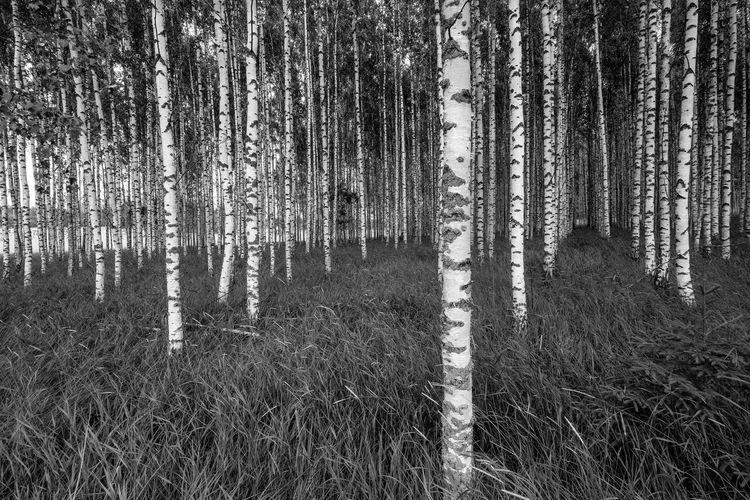 Birches in