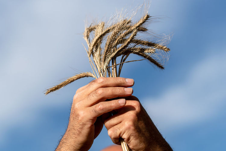 Close-up of hand holding wheat plant against sky