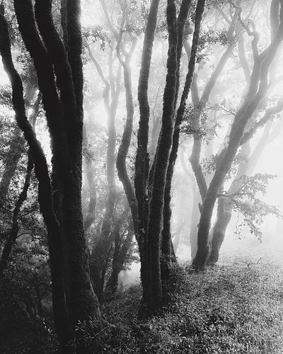 Forest fog. Mist Fog Russian Ridge Open Space Preserve Tree Plant Day Nature No People Sunlight Branch Outdoors Shadow Forest Silhouette Trunk