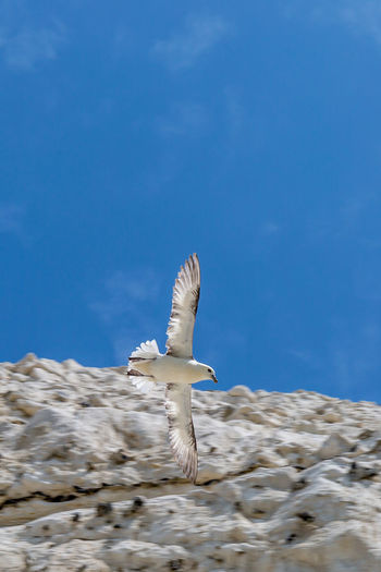 A seagull in flight with a chalk cliff and blue sky behind