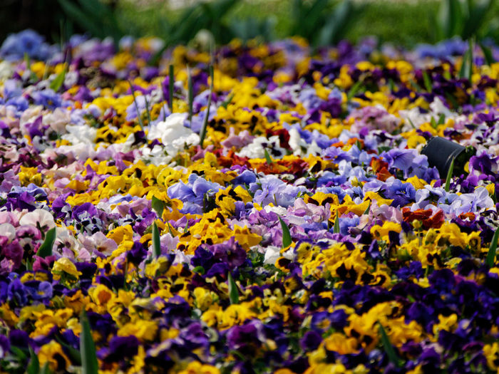 Flower Selective Focus Flowering Plant Plant Vulnerability  Yellow Beauty In Nature Freshness Fragility Growth Nature Day Close-up No People Land Abundance Multi Colored Field Outdoors Petal Springtime Purple Flower Head Lichen Flowerbed