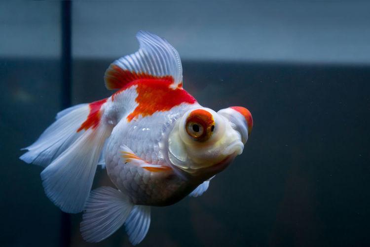 Jenny... swim in peace... Fishtank Goldfish In Water Red Animal Themes Aquarium Beauty In Nature Butterfly Close-up Eyes Fins Fish Fish Tank Gills Goldfish One Animal Portrait Scales Sea Life Sony A6000 Swimming Telescope Underwater Wallpaper Water White