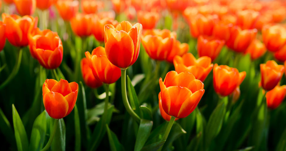 Group of tulips in the garden Flowering Plant Flower Plant Growth Tulip Outdoors Springtime Green Color Close-up Field Orange Color Vulnerability  Freshness Botany Beauty In Nature Nature