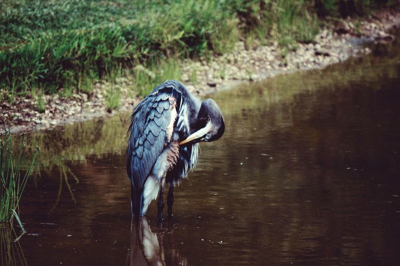 (2 of 3) Grey Heron  Wildlife Wildlife Photography Nature