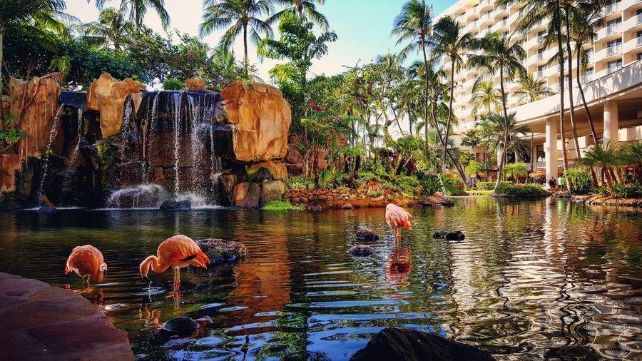 Westin Maui EyeEmNewHere Pink Flamingos Water Swimming Pool Resort Hotel Lobby View Waterfall