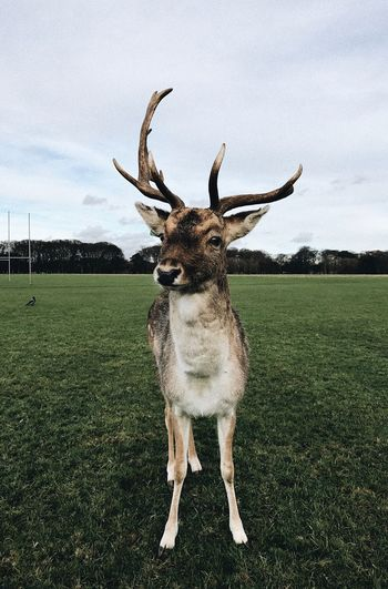 Majestic Grass Sky Animal Themes Field One Animal Looking At Camera No People Day Landscape Deer Full Length Portrait Outdoors Nature Cloud - Sky Mammal Antler Deer Ireland The Great Outdoors - 2017 EyeEm Awards The Portraitist - 2017 EyeEm Awards Done That.