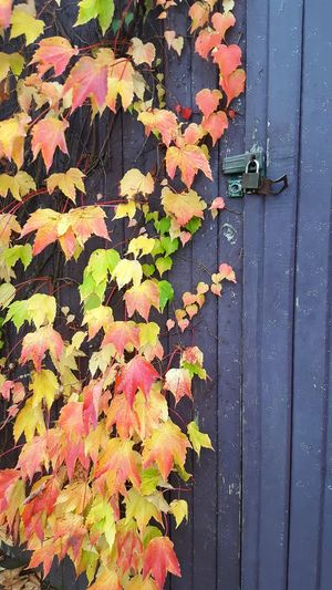 Fall Close-up Fall Beauty Fall Leaves Gate Creeping Vines Leaves Autumn Door Lock Creeper Plant Autumn Leaves Colors Colorful Nature Fall Collection Beauty In Nature Trailing Plant Climbing Plants Nature_collection Seasons Wooden Background Foilage