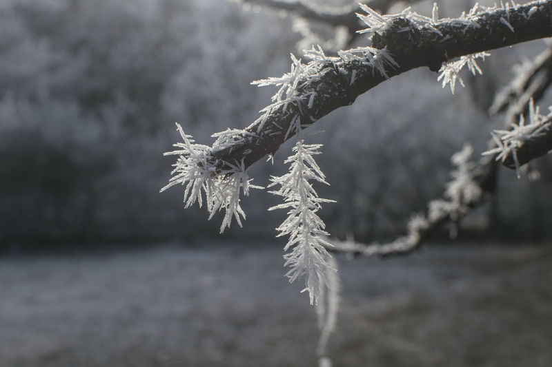 Frostbite Snowflake Tree Snow Cold Temperature Winter Branch Frozen Spruce Tree Backgrounds Ice Crystal