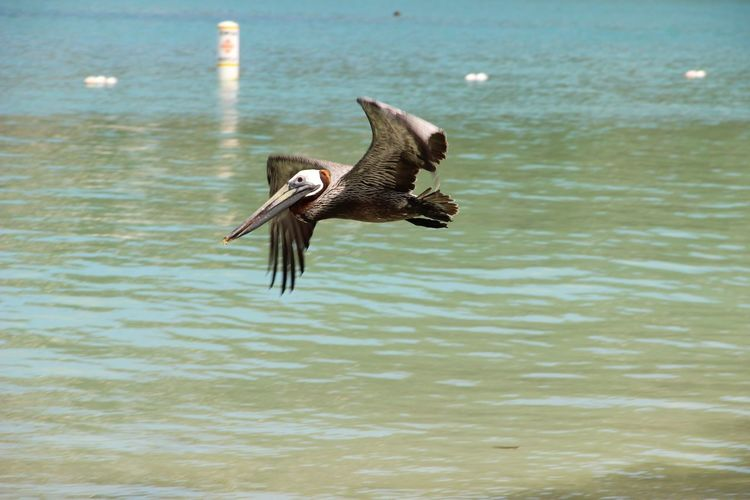 Pelican Flying Over Lake
