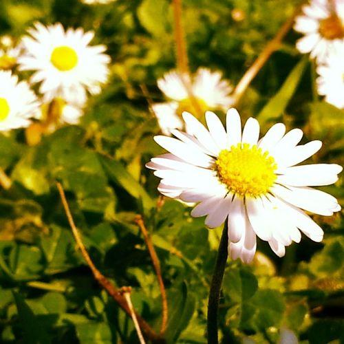Flowers Paquerettes Springtime Flower