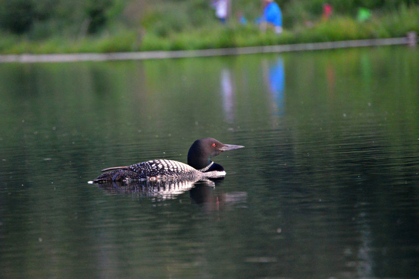 Alberta Bird Canada Chickakoo Lake Duck First Eyeem Photo Focus On Foreground Kyaking Lake Loon Nikon D3200 Outdoors Parkland County Reflection Reflections Rippled Selective Focus Swimming Water Water Bird Water Fowl Wildlife