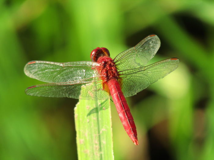 dragonfly Fly