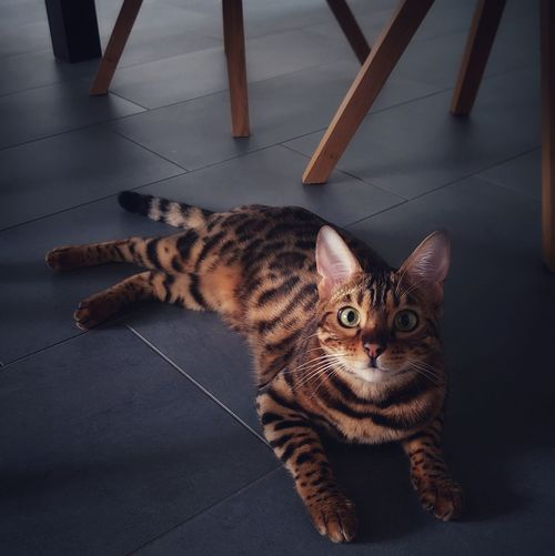 High angle view of tabby cat on floor