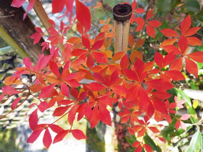 Kyoto Japan Kouetsuji Temple Autumn Autumn Colors Leaves Red Color Beauty In Nature Olympus PEN-F 京都 日本 光悦寺 寺 紅葉 秋 赤色 葉