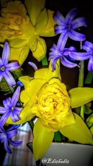 Beauty In Nature Blue Flower Játsszint Kert MyPhotography Nature Nofilter#noedit Nárcisz Original Tavaszi Virágok Yellow