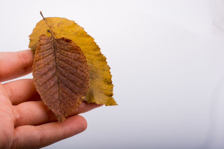 Cropped hand holding leaves over white background