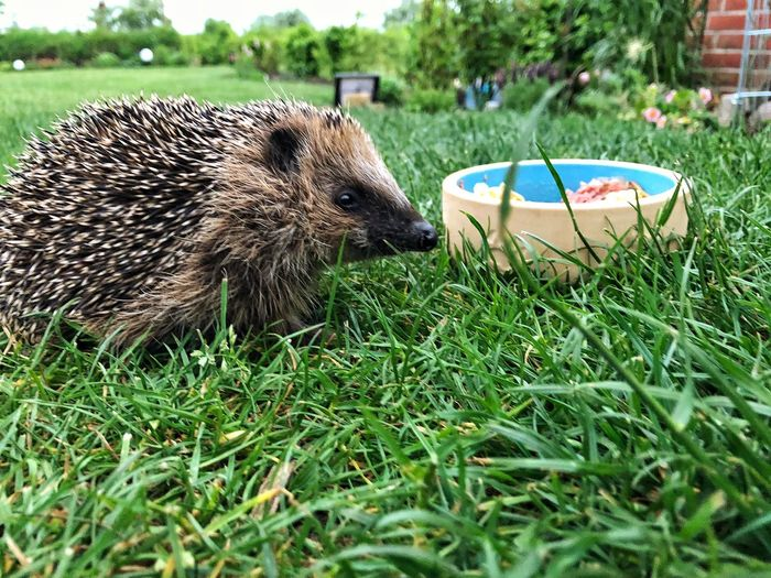 Luc Hedgehog Inmygarden Pflegeigel Hedgehog Grass Plant Animal Animal Themes Mammal Field Animal Wildlife One Animal Nature Animals In The Wild Outdoors Land